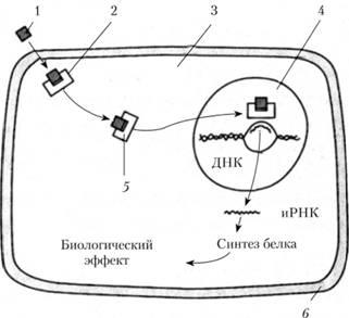 Схема действия ГК на клетку.