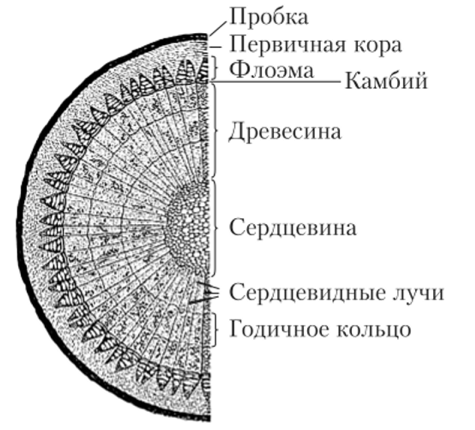 поперечный разрез ствола дерева